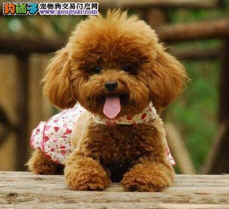 出售武汉贵宾犬专业缔造完美品质签订保障协议