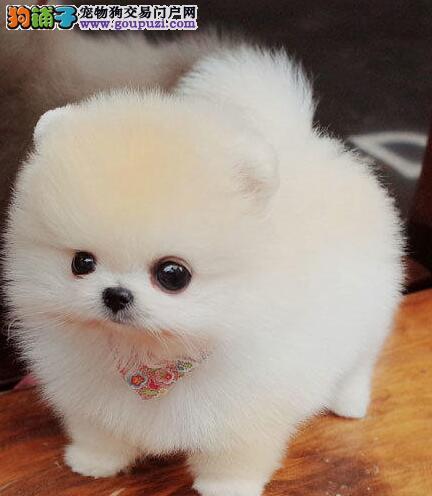 出售优质纯种哈多利版广州博美犬 可签署终身质保协议
