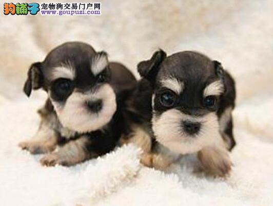 犬舍直销 雪纳瑞幼犬 协议质保 支持送货上门