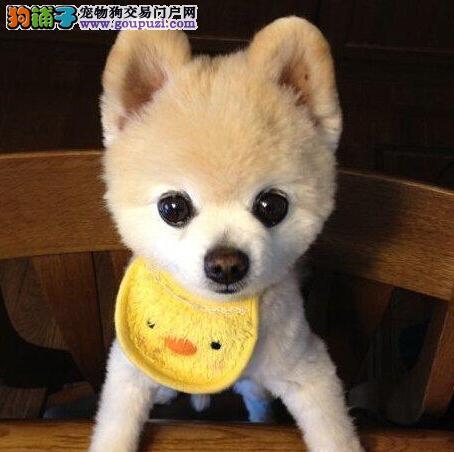 促销价格转让哈多利版博美犬 长春周边地区可免费送狗