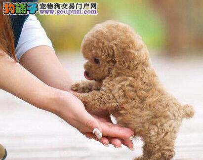 出售颜色齐全身体健康的泰迪犬 青岛的朋友上门选购