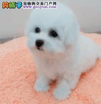 青岛大型狗场繁殖出售卷毛比熊犬 承诺免费送货上门