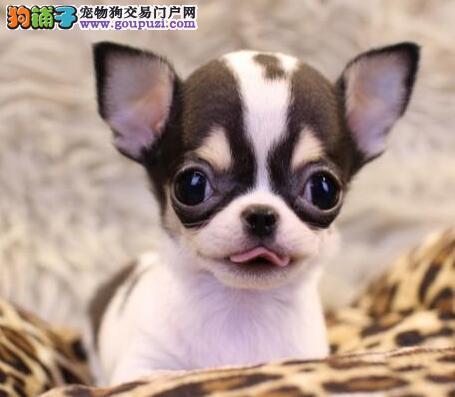广州周边哪里有狗场卖狗 名臣狗场繁殖中心出售吉娃娃