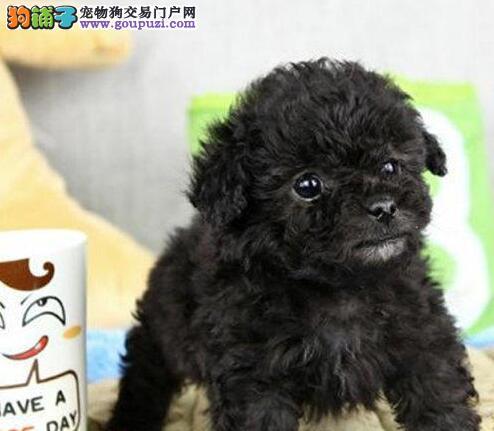正规狗场促销价格出售韩国血统泰迪犬 青岛地区可包邮