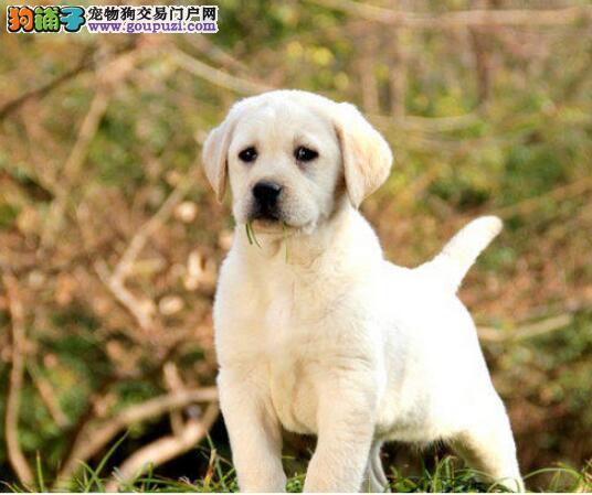 出售自家繁殖的多只兰州拉布拉多犬 请您放心选购