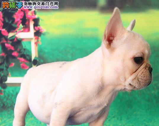 法国斗牛犬幼崽出售中,真实照片保纯保质,诚信经营保障