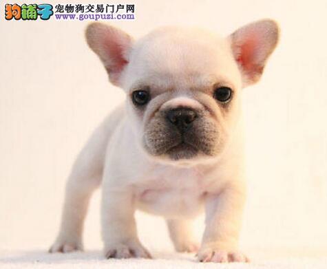 出售实物拍摄的潍坊斗牛犬 可随时上门选购爱犬看种犬