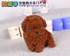 太原正规犬舍出售多种颜色的泰迪犬 我们承诺售后三包