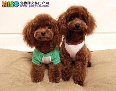 阳泉精品高品质贵宾犬幼犬热卖中赠送全套宠物用品