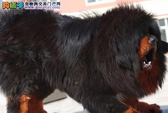 热卖纯种藏獒幼犬 藏獒俱乐部 铁包金藏獒