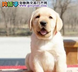 犬舍转让纯种沈阳拉布拉多犬包养活签订活体协议