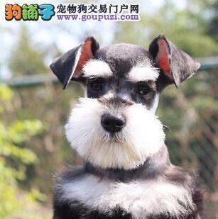 椒盐色深灰色的青岛雪纳瑞幼犬出售 可随时上门限购犬