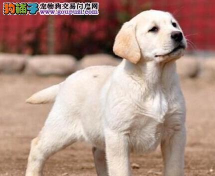 出售多只三个月大的青岛拉布拉多犬 喜欢的朋友别错过