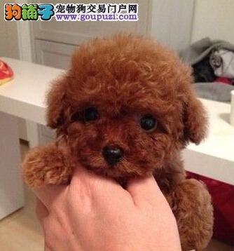 高端泰迪犬幼犬 精心繁育品质优良 诚信经营保障