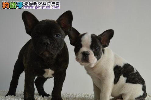 出售青岛法国斗牛犬健康养殖疫苗齐全微信咨询看狗狗视频