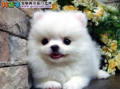 CKU认证犬舍 专业出售极品 博美犬幼犬狗贩子请勿扰