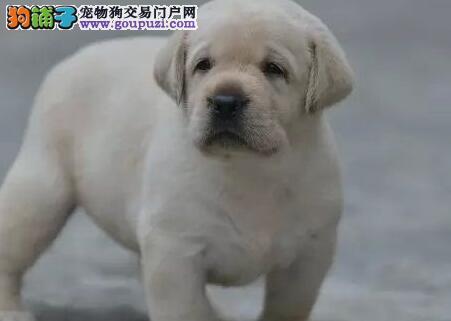 徐州自家繁殖的拉布拉多犬超低价出售中 请您放心选购