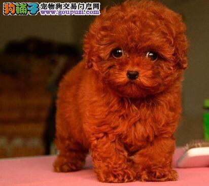 呼和浩特养殖场出售深红色泰迪犬 可送货上门供您选购