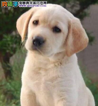 出售多种颜色郑州纯种拉布拉多幼犬微信看狗可见父母