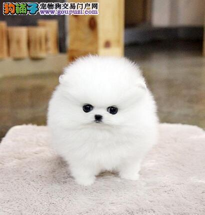 出售包头自家繁殖的博美犬 哈多利俊介血系保证纯种