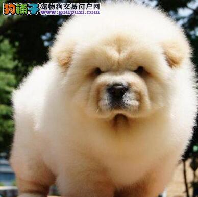 乖巧听话的桂林松狮犬低价直销中 喜欢的朋友不要错过