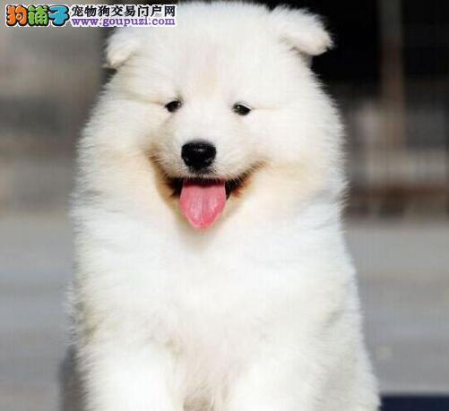 出售骨骼粗毛量足的合肥萨摩耶幼犬 上门选购有优惠