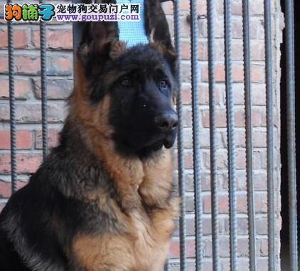 热销德国牧羊犬幼犬 纯正血统完善服务 签署合同质保