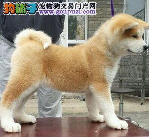 狗场直销品相好毛色亮丽的开封秋田犬签售后
