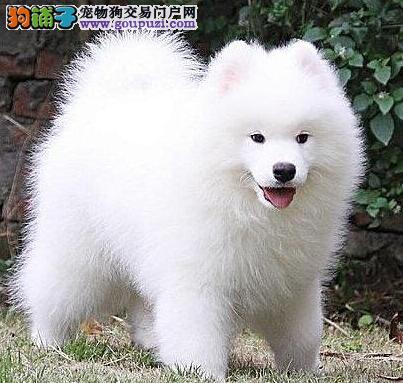 开封养殖场热销微笑天使颜色雪白的萨摩耶犬