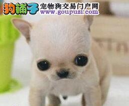 出售纯种健康的张家口吉娃娃幼犬全国送货上门