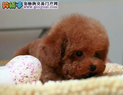 健康可爱纯种泰迪犬出售中 国外引进天津周边免邮费
