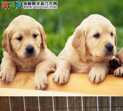 郑州热销拉布拉多颜色齐全可见父母当日付款包邮
