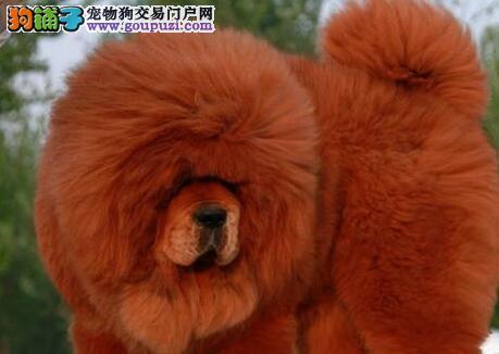 赛级品质原生态藏獒低价出售 天津周边地区可送狗到家