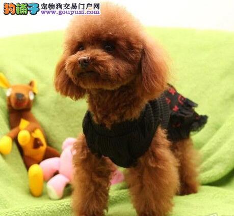 本地实体犬舍热销天津贵宾犬 纯正国外引进血统有证书