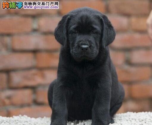 售血统纯品相佳的台州拉布拉多犬 可随时上门选购