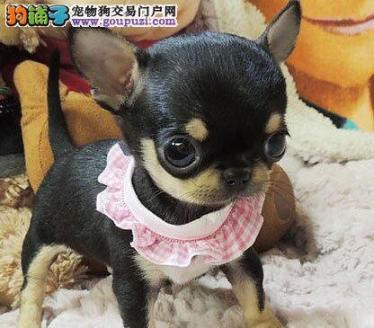 出售多只优秀的吉娃娃可上门微信看狗可见父母