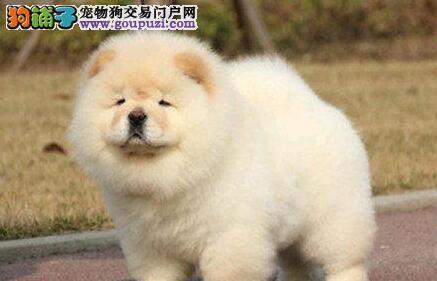 精品松狮幼犬,松狮犬广州出售可签协议