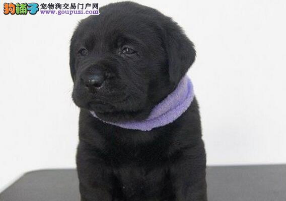 CKU认证犬舍 专业出售极品 拉布拉多幼犬真实照片视频挑选