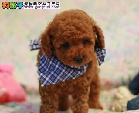 专业犬舍热销优质上海贵宾犬 纯正韩国血统有证书