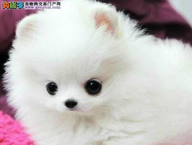 哈多利球形多种颜色的桂林博美犬优惠转让 多只供选购