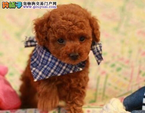 茶杯玩具泰迪熊犬终身保障纯种健康 可以送到家。