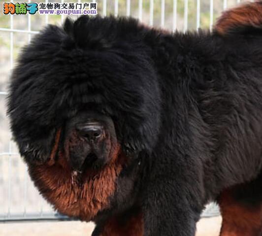 热销纯种藏獒 哈尔滨顶尖犬舍繁殖品种多样品相好