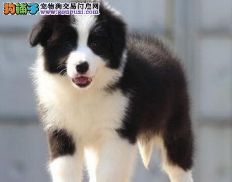 七白到位品相极佳的桂林边境牧羊犬优惠出售 非诚勿扰