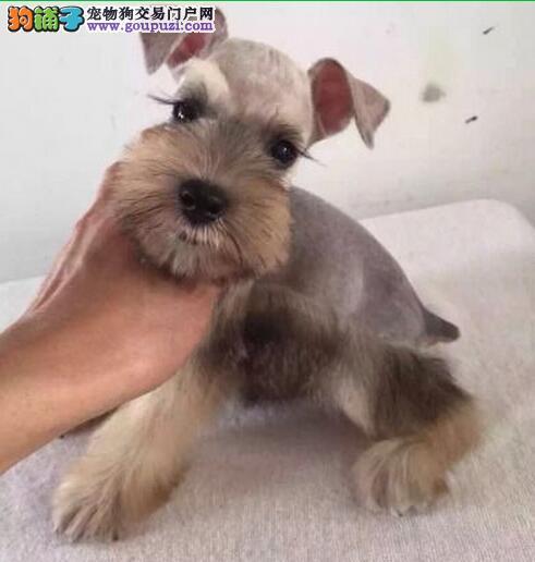 出售纯种的雪纳瑞幼犬 公母都有购买有保障可上门