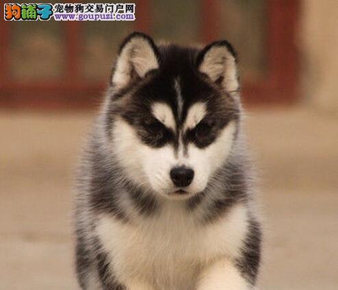 转让双蓝眼品相极佳的南昌哈士奇幼犬 保证完善的售后
