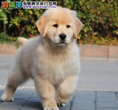 超大毛量超高品质的金毛犬找新家 厦门市内可免费送货