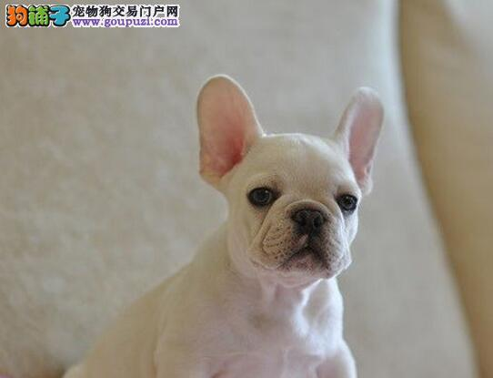 可爱优质青岛斗牛犬促销价直销 可支持空运发货价格低