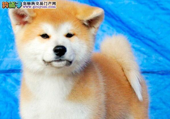 自家繁殖的日系秋田犬特价转让中 厦门的朋友上门选购