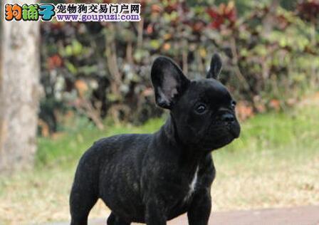 法国斗牛犬成都最大的正规犬舍完美售后全国空运发货