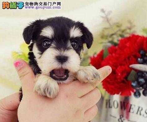 特价出售南宁雪纳瑞颜色多只均可见狗狗父母